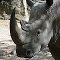 Up Close Look At The Face Of A Rhinoceros by DejaVu Designs