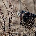 Ural Owl Flying Between The Bushes by Torbjorn Swenelius