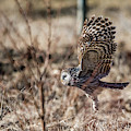 Ural Owl Flying Close To The Ground by Torbjorn Swenelius