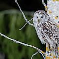 Ural Owl Perching On An Aspen Twig by Torbjorn Swenelius
