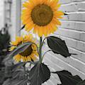 Urban Sunflower - Black And White by Lora J Wilson