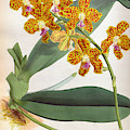 Vanda Parishii Orange Speckled Lindenia Orchid by Jen Jules Linden