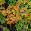 Various Stages Of Fall Color On Maple Leaves by Sue Smith