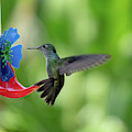 Versicolored Emerald Hummingbird At A Feeder by Mark Hunter