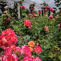 Vibrant Roses Under Stormy Skies At The Garden by Lynn Bauer