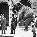 Victory, The G.o.p. Elephant, Stands In by New York Daily News Archive