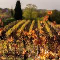 Vineyard In Friuli by Wolfgang Stocker