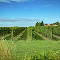 Vineyard by Jack R Perry