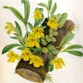 Promenaea Citrina Vintage Yellow Orchids  by Jean Jules Linden