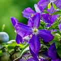 Violet Clematis by Susan Rydberg