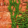 Virginia Creeper  by Imagery by Charly