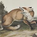 Vulpes Fulvus, American Red Fox by John James Audubon