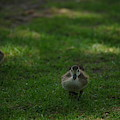 Waddling Ducklings by Jeff Swan