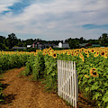Walk Through The Sunflowers by Jeff Folger