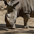 Walking Rhino With One Large Horn And One Small Horn by DejaVu Designs