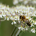 Wasp On Cow Parsley by Scott Lyons