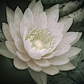 Water Lily In White by Julie Palencia