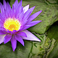 Water Lily by Karen and Phil Rispin