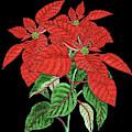Watercolor Flower Red Poinsettia Plant by Irina Sztukowski
