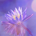 Waterlily Dreams by Kay Brewer
