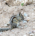Western Chipmunk by Michael Chatt