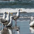 Western Gulls Reflect by Robert Potts