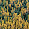 Western Larch Forest by Leland D Howard