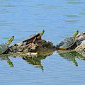 Western Painted Turtles by Brad Christensen
