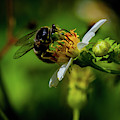 Western Sand Wasp by Blair Howell