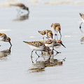 Western Sandpipers On The Beach by Robert Potts