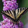 Western Tiger Swallowtail Butterfly by Robert Potts