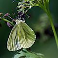 Western White Butterfly by Robert Potts