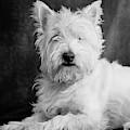 Westie Dog by Edward Fielding