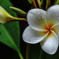 Wet Plumeria Flower by John Bauer
