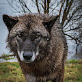 Wet Wolf by Laura Hedien