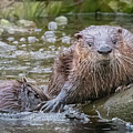 What Other Otter 6519 by Dan Beauvais