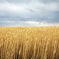 Wheat Field Under Dark Clouds by Adrian Studer