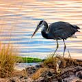 Wheeler Oregon - Great Blue Heron by Image Takers Photography LLC - Laura Morgan