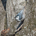 White-breasted Nuthatch Dsb0336 by Gerry Gantt
