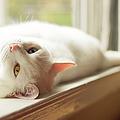 White Cat Relaxing In Windowsill by Kathryn Froilan