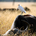White Cattle Egret Hitching A Ride On by Paul Banton