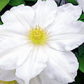 White Clematis Flower by Sharon Talson