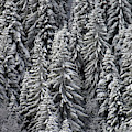 White Conifer Forest, On Hillside by Steve Estvanik