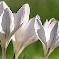 White Crocus by Framing Places