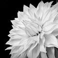White Dahlia by Judi Kubes