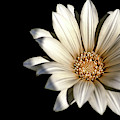 White Daisy On Black by Alison Frank