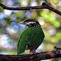 White-eared Catbird by Jennifer Robin
