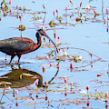 White Faced Ibis 4 by Michael Chatt