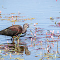 White Faced Ibis 5 by Michael Chatt