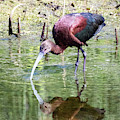 White Faced Ibis 6 by Michael Chatt